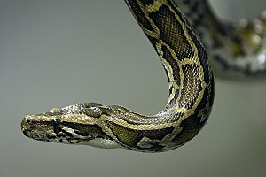 Woman Attacked by Secret Pet Python, Saved by Police